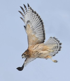 This bird present at Shawville 11-22 Dec. (here 22 Dec.) was presumed to be a hybrid between a Red-shouldered Hawk and a Red-tailed Hawk. Photo by © Robert Auger.