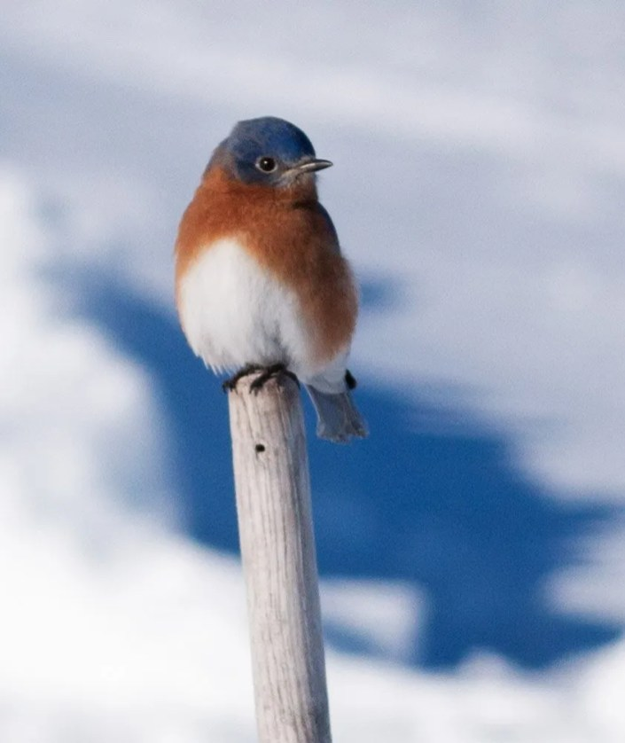 This Eastern Bluebird was one of two that spent the winter (here 26 Jan.) at Percé providing a first successful overwintering record for the Gaspé Peninsula. Photo by © Albini Couture.