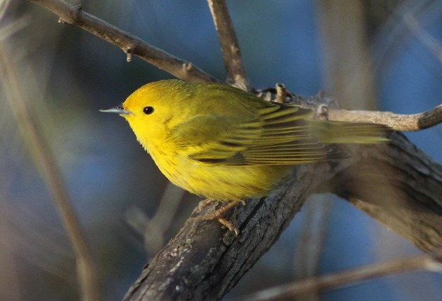 Although not establishing a new record date, this very late Yellow Warbler lingered at Sainte-Catherine up to 9 Dec. (here 4 Dec.). Photo by © Yves Gauthier.