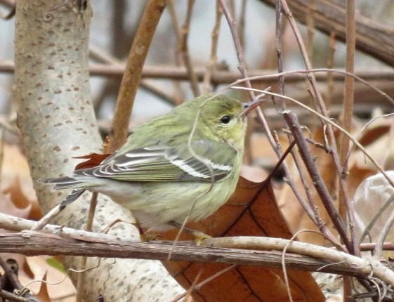 This Blackpoll Warbler at Terrebonne 2 Dec. provided a record late date for the province. Photo by © Jean-François Piché.