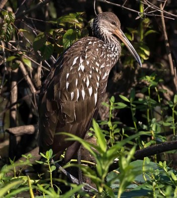 Alabama has seen an uptick in Limpkin sightings over the past two years. This individual at Wheeler NWR, Morgan (here 10 July 2018) at was the ninth state record. Prior to 2017 there were only four accepted state records. Photo by George Lee.