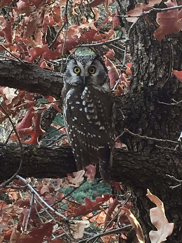Surprising at 2200 m, this wandering Boreal Owl discovered at Los Alamos, Los Alamos County, 20 December furnished the third late fall/early winter low-elevation record for New Mexico; breeding locales in the state are above 3000 m. Photo by © Uriah Sanchez.