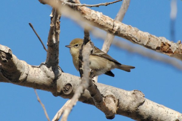 Pine Warbler is a rare but increasingly regular cool season visitor to New Mexico; this one at Ute Lake 30 November 2016 provided a first record for Quay County. Photo by Douglas E. Weidemann.