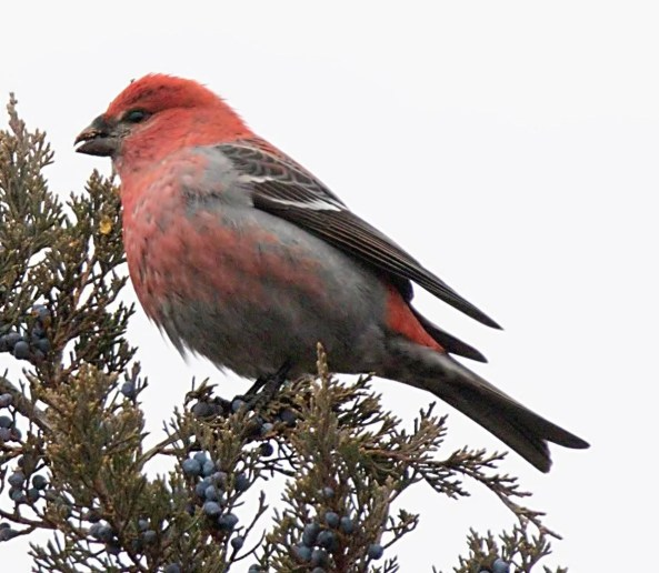Pine Grosbeak is exceptional in the region. This male, one of a group of 3, was found in Harlan, Nebraska, 14 Dec. 2019. Photo by © Brian Peterson.