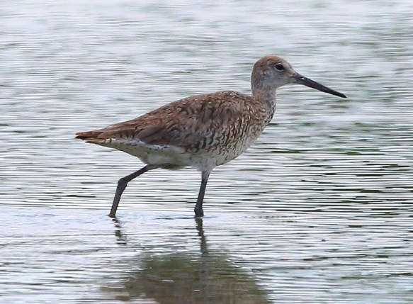 Uncommon inland, Willets were observed at three locations this year. This one was at Newbern, Hale on 28 July 2019. Photo by Bala Chennupati.