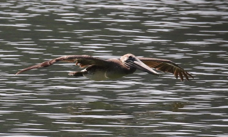 This immature Brown Pelican at Fort Patrick Henry Lake, Sullivan, Tennessee 15–30 Jul (here 18 Jul) was one of two reported from Tennessee this season. Photo © Sherrie Quillen.