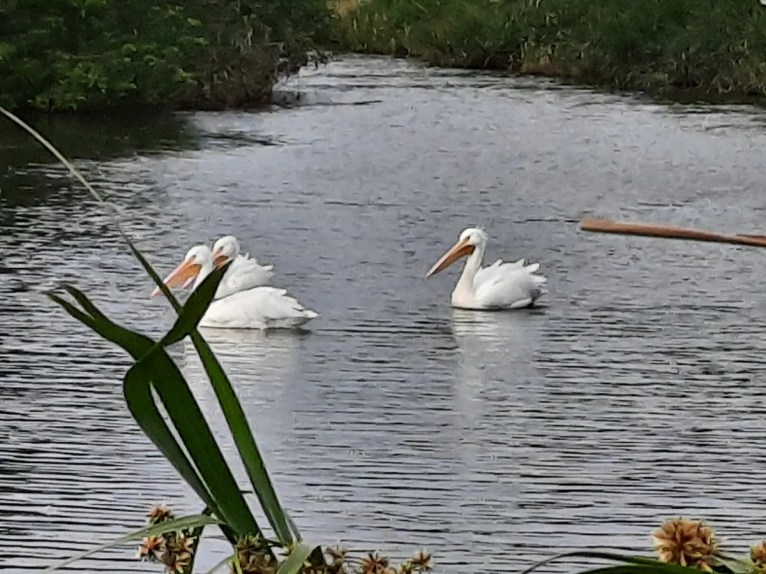 Three American White Pelicans, the 4th record for Bermuda were present from 22–24 Jan at Pembroke Marsh. Photographed here at Parson's Road Pond on 24 Jan 2021. Photo © Paul Watson.