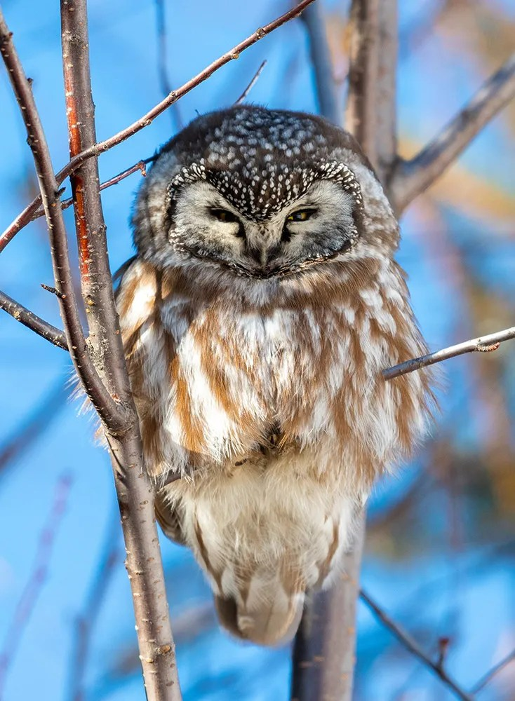 This Boreal Owl, one of only two reports in the Western Great Lakes region during winter 2020–2021, was located along Minnesota's North Shore near Taconite Harbor on 8 Feb 2021. Photo © Kyle Matera.