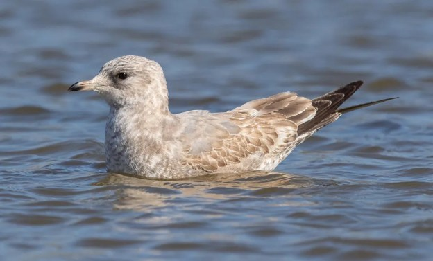 This Mew Gull was a special highlight on the Abilene Christmas Bird Count, Taylor Co, TX on 03 Jan 2021. Photo © Jay Packer.