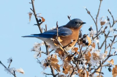 Nicely photographed was this Eastern Bluebird at Pilot Butte, Saskatchewan on 31 Jan 2021, where it died during a severe cold-snap on 9 Feb. Photo © Annie McLeod.