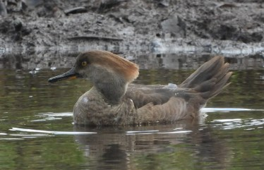 Winter 2020–2021 was a breakout season for Hooded Merganser in Hawaii. There were at least five individuals on three separate islands: Kauaʻi, Oʻahu, and Hawai'i. Together, they accounted for almost one sixth of all the Hooded Mergansers ever reported in the state dating back to 1966. This individual was at Heʻeia State Park on Oʻahu, 6 Jan 2021. Photo © Kellen Apuna.
