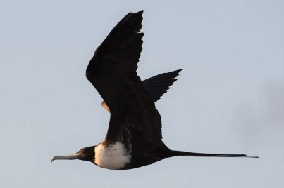 Returning from an uneventful trip to Block Island, Tim Metcalf was stunned on 28 Dec 2020 when the ferry's route to its berth near Galilee, Washington Co, Rhode Island, revealed a Magnificent Frigatebird perched and in flight. The bird, seen by several observers, was also present the next day. Photo © Tim Metcalf.