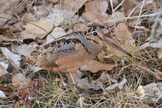 This cooperative American Woodcock was seen in the Corrales bosque, Sandoval County for nearly two months, and was one of the highlights of New Mexico's winter 2020–2021 season. Photographed here 20 December 2020. Photo © Owen Sinkus.