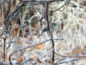 Rare for winter, a Dusky Flycatcher was well documented along the Clearwater River east of Lewiston, Nez Perce Co, Idaho 20 Dec 2020. Photo © Carl Lundblad.