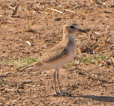 Long term prospects for the Mountain Plover in Baja California remain grim, but in the meantime more out-of-place individuals were found in autumn 2020 than ever recorded previously. This juvenile was one of four birds at the south end of the state at Villa Jesús María. 22 Oct 2020. Photo©Robert A. Hamilton.