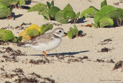 A Piping Plover was present from 22 Jan–28 Feb+ at Cove Pond, Anguilla. Photographed here on 22 Jan 2021. Photo © Jacqueline Cestero.