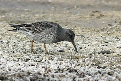 This Purple Sandpiper, photographed on 2 Feb 2021, remained along the barnacle covered shoreline of the Salton Sea at North Shore, Riverside Co, California 30 Dec 2020–17 Feb 2021. The similar Rock Sandpiper is unrecorded inland away from nesting areas, and unknown on the Pacific Coast south of Los Angeles Co, whereas vagrant Purple Sandpipers are developing a pattern of occurrences scattered throughout western North America. Photo © Jonathan Feenstra.