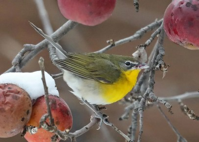 This Yellow-breasted Chat (here 11 Dec 2020) was feeding in an apple tree with other birds at Neuville 6–14 Dec 2020, a record late date for the province. There are now about 80 records for this visitor in the province of Québec. Photo © Daniel Jauvin.