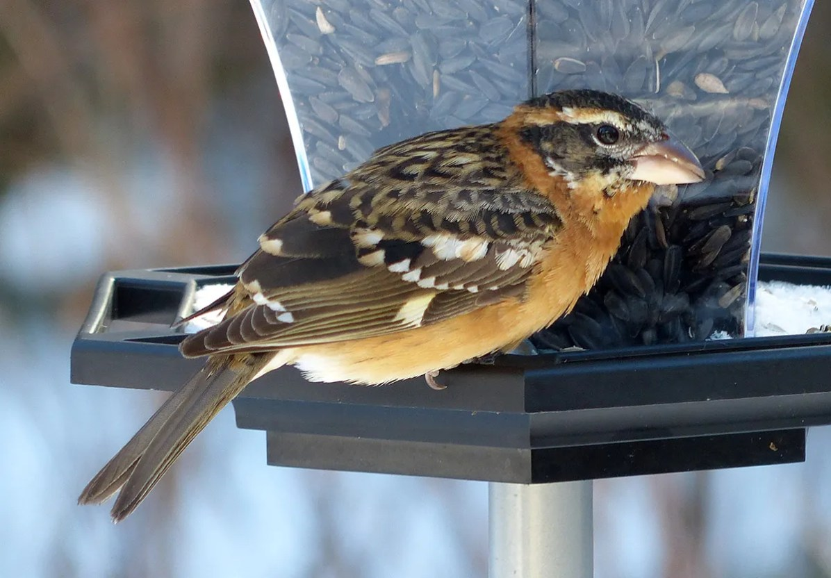 First reported in mid-November, this Black-headed Grosbeak remained through the winter at a feeder in Sawpit Bay, Algoma Co, Ontario. Photographed here on 19 Dec 2020. Photo © William Van Atte.