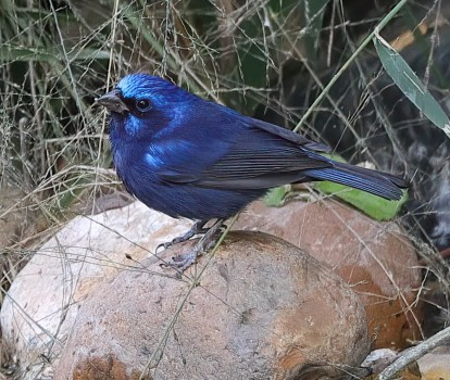 Blue Buntings erupted into Texas with as many as 9 birds located at various locations. This male was photographed 26 Dec 2020 at Quinta Mazatlan World Birding Center in McAllen, Hidalgo Co, TX. Photo © Agnieszka Skuza.