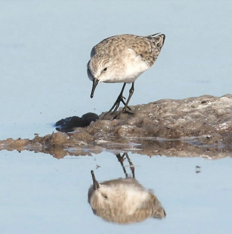 This adult Little Stint, believed to be the same bird present last winter, photographed on 2 Nov 2020, remained at the south end of San Diego Bay, San Diego Co, California 4 Jul 2020–4 May 2021. Note the short thin-tipped bill, the trace of a double supercilium, and most importantly, the lack of partial webbing between the toes. Photo © Matt Sadowski.