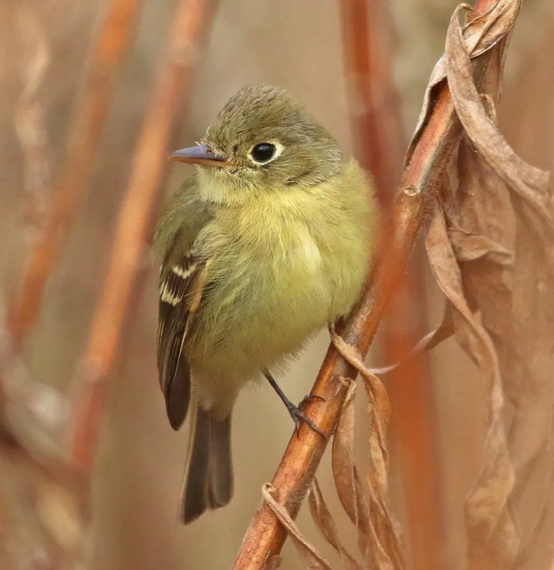 The second record of Pacific-slope Flycatcher for Massachusetts, found in late November, remained through at least 16 Dec 2020 (here 13 Dec) at Fresh Pond Reservation in Middlesex Co. Photo © JR Trimble.