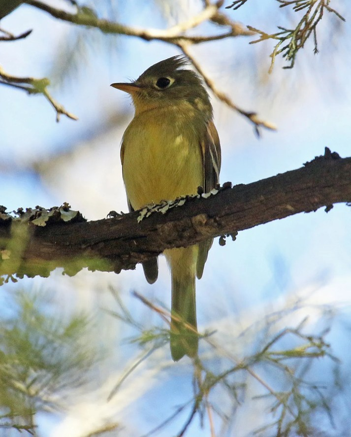 """This """"Western"""" (Pacific-slope/Cordilleran) Flycatcher discovered by Justin Roach was present from at least 7–12 Dec 2020 (photos 8 Dec) in Johnston Co, Oklahoma. An Empidonax in December is exceptional in the Southern Great Plains on its own. It responded most aggressively to calls of Pacific-slope Flycatcher allowing it to be captured. Its culmen measured short for this combo, in the non-overlapping range given by Peter Pyle in his Identification Guide to North American Birds (1997, p. 236) for the northern subspecies of Pacific-slope Flycatcher. Nonetheless, feather and fecal samples are yet to be analyzed for confirming genotype, if possible. Photos © Joe Grzybowski."""