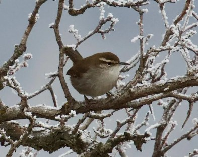 For the second winter in a row, a Bewick's Wren resided in a riparian area south of Lolo, Missoula Co, Montana. 31 Dec 2020. Photo © Eric Rasmussen.