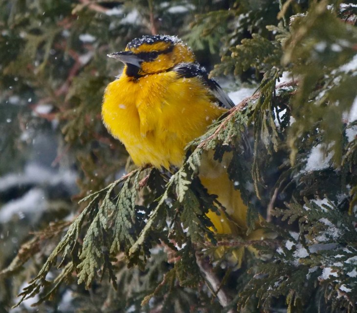 This outstanding adult male Bullock's Oriole (here 2 Feb 2021) enjoyed a mild winter and abundant food at the feeder of their generous hosts in Saint-Bruno-de-Montarville 2 Dec 2020–11 Feb 2021. It was the 6th record for the province of Québec. Photo © Sylvie Martel/Gaétan Giroux.