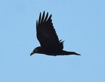 This photo is one of several representing the first documented occurrence of Common Raven in Nebraska in 95 years, this bird near Harrison, Sioux Co 1–4 Jan 2021 (here 3 Jan). Photo © Caleb Strand.