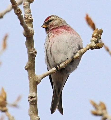Common Redpolls were exceptionally abundant in Colorado this season, with reports from nine counties, including this one at Chatfield State Park in Jefferson Co on 16 Jan 2021. Photo © Joey Kellner.