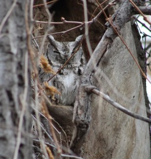 The exact location of this Eastern Screech-Owl in southeast Alberta was kept a secret, to prevent undue attention and possible harassment. It is seen here on 17 Jan 2021. A second bird was reportedly also present. Photo © Erik Vokes.
