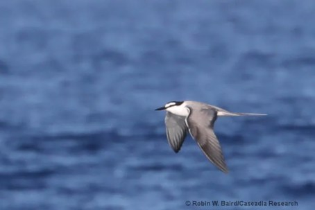 Two Gray-backed Terns were observed on 3 and 11 Dec 2021, and one individual was seen 6 and 13 Dec 2021 at sea south of Lānaʻi Island. There had only been one Maui Co. record prior to these observations. Here, 6 Dec 2020. Photo © Robin Baird.