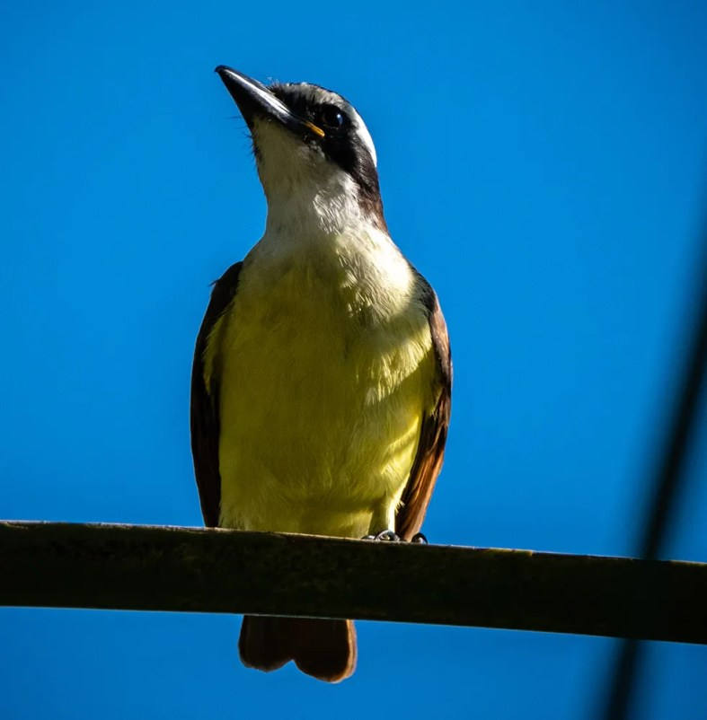 """Far from the west Mexican mainland, this Great Kiskadee found at Estero San José 11 Nov was still present at the end of the year and may now be """"trapped"""" in the Cape District of Baja California Sur. The only previous regional record, from the same location in 1987, was not photo documented. 21 Nov 2020. Photo © Stephen Cherrier."""