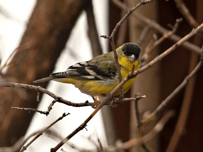 Lesser Goldfinch observations continued their upward trend in western Montana during the winter of 2020–2021. This one was in Ravalli Co, Montana on 18 Jan 2021. Photo © Alex Kearney.