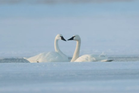 This elegant pair of Tundra Swans (photographed here 24 Feb 2021) spent the whole winter in Les Îles-de-la-Madeleine, a first in these unearthly islands of eastern Québec. Their presence here was documented from 4 Dec 2020 through at least 6 Mar 2021. Photo © Éric Deschamps.