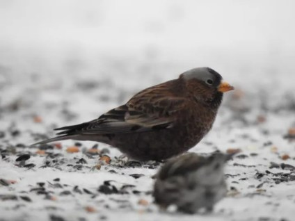 Minnesota's 20th Gray-crowned Rosy-Finch appeared less than a mile from the Ontario border and was seen from 11–18 Jan 2021. Loman, Koochiching Co. 18 Jan 2021. Photo ©Matthew Thompson.
