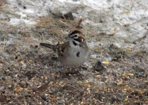 Montana's first overwintering Lark Sparrow was discovered in Missoula, Missoula Co on 13 Dec 2020. Photo © Jelalieh Morrow.