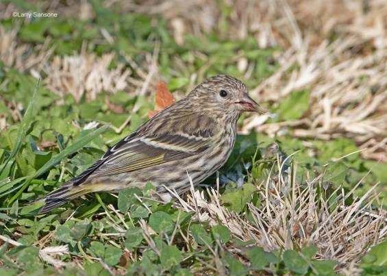 This Pine Siskin, photographed on 9 Nov 2020 in Los Angeles, Los Angeles Co, was one of an unprecedented number that invaded the lowlands throughout Southern California during the fall and winter of 2020-2021. Photo © Larry Sansone.