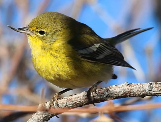 Suffering from avian keratin disorder, this Pine Warbler was present at Chatfield State Park in Douglas Co, Colorado from 1–25 Dec 2020. Photo © Joey Kellner.