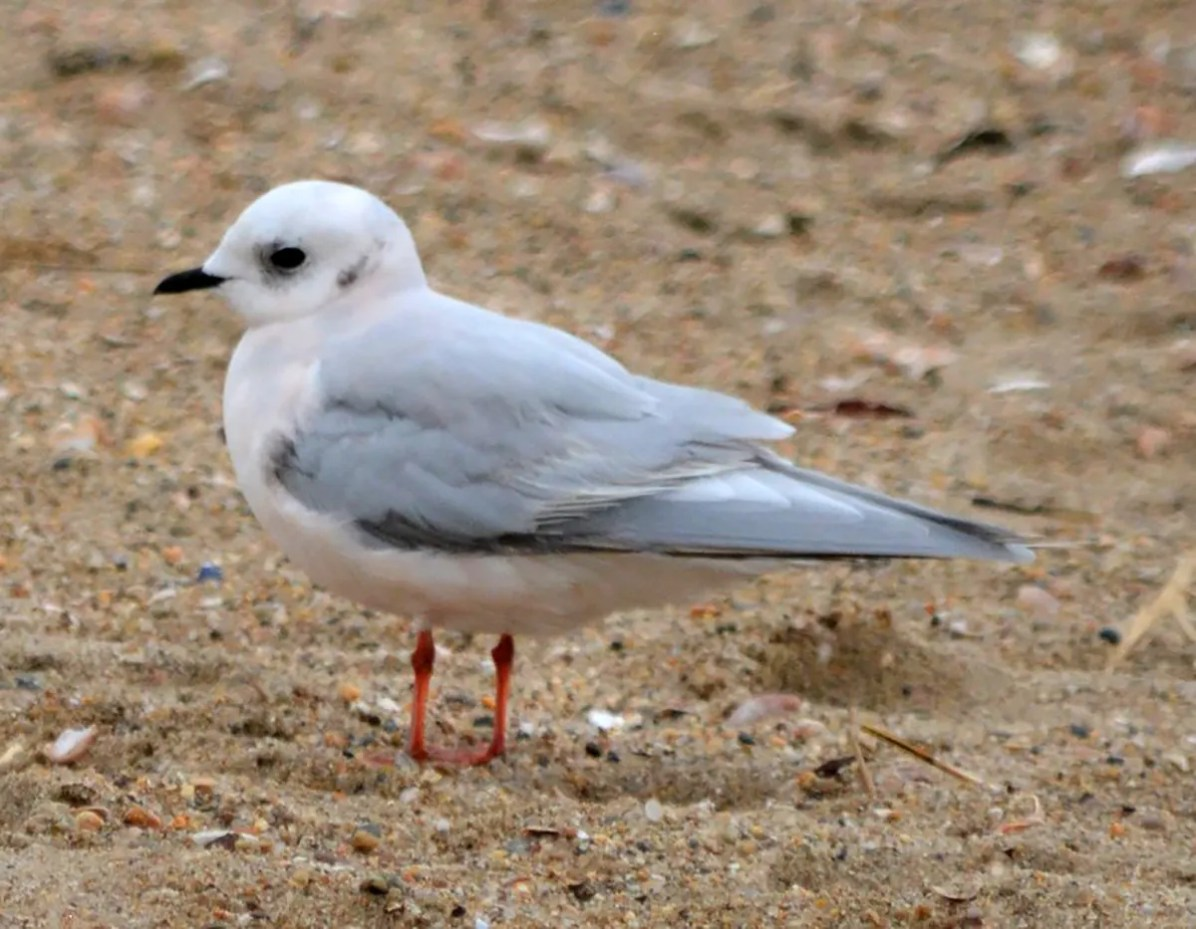 Connecticut's second Ross's Gull entertained a quickly assembled throng of observers on 16 Dec 2021 at Hammonasset Beach State Park in Madison, New Haven Co. The first record was in 1984. Photo © Micky Komara.