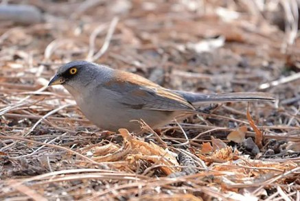This Yellow-eyed Junco, here photographed 20 December 2020 at Railroad Canyon in Grant County, was part of an influx of the species into atypical areas across southern New Mexico in the winter of 2020–2021. Photo © Jay Wilbur.