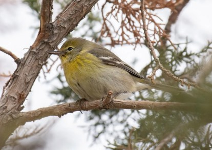 This Pine Warbler continued from late November and was seen through mid-December. Photographed here 17 Dec 2020. Photo © Jack Parlapiano.
