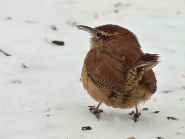 The first Carolina Wren known to have survived a Manitoba winter, here at Winnipeg on 3 Feb 2021, was first seen in Nov 2020. Although observed by several birders during the winter, it remained rather elusive until it started singing in spring. Photo © Marlene Waldron.