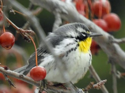 At the edge of it breeding range, and far from its normal wintering range, was this Yellow-throated Warbler persisting 7–27 Jan 2021 (here 7 Jan) in Lincoln, Lancaster Co. Nebraska. Photo © Cherly Samusevich.