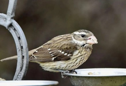 Among the greater-than-usual scattering of lingering neotropical migrants this season was this female Rose-breasted Grosbeak coming to a feeder 6 Jan 2021 in Hall Co, Nebraska—only the second during winter in Nebraska. Photo © Denise Wiese.