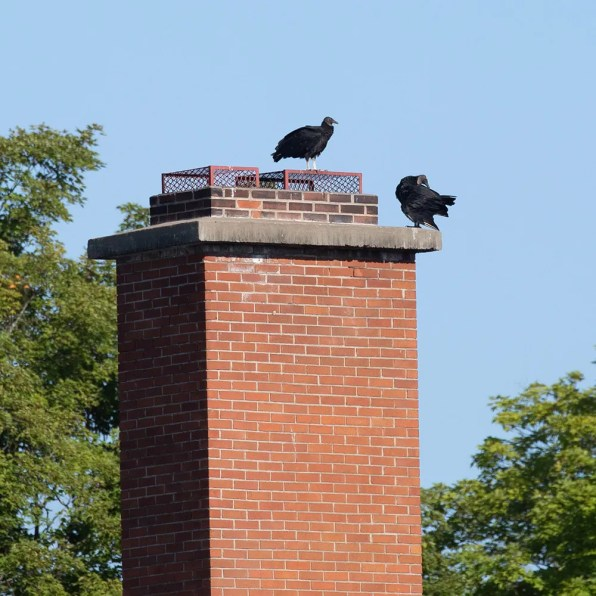 These two Black Vultures, presumably a pair, lingered at Saint-Armand near the Vermont border for a period of two weeks in late Aug (here 18 Aug 2020). The species has been observed more frequently in the province over the last few years. Photo © Suzanne Labbé.