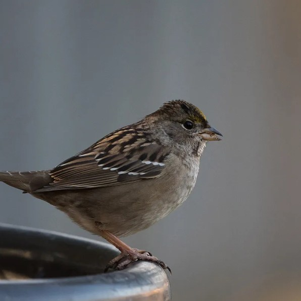 This immature Golden-crowned Sparrow was photographed 5 Nov 2020 at Rimouski. The species has now been identified four times in the province, all records since 2011. Photo © Simon Boivin.