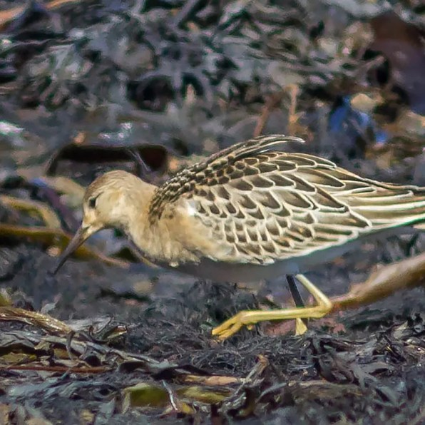 Ruffs are one of our most regular vagrants from Europe. This juvenile bird was photographed at l'Anse-au-Lard near Rimouski 17 Sep 2020. Photo © Brigitte Arseneau.