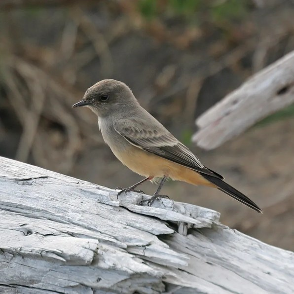 This Say's Phoebe, a more or less regular vagrant from the west, was photographed at Portneuf-sur-Mer 11 Sep 2020. Photo © Christine Lepage.